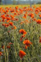 Poppies on green summer field in the sunset photo