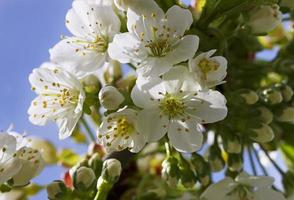 Cherry blossom. photo