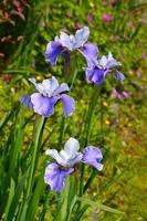 flores de iris morado