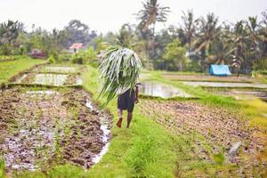 Man working on rice field near Ubud, Bali photo