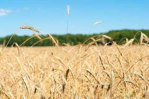 sunny field with wheat photo