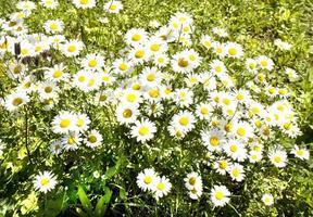 Camomiles (ox-eyed daisy)