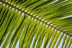 green coconut branch