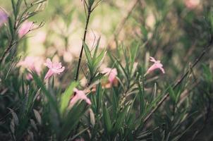 ruellia tuberosa flor vintage foto