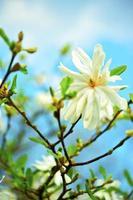 Star Magnolia -Stellata photo