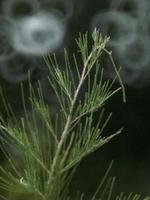 Green branch pine photo