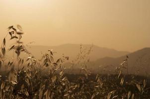 Cereal framing golden hillside