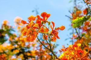 flame tree flower