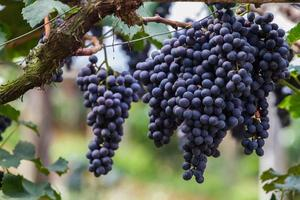 Bunch of grapes on vineyard.