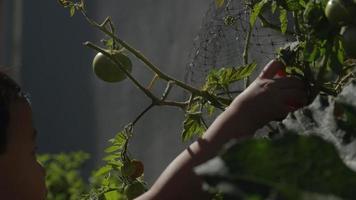 câmera lenta de menino colhendo maçã da árvore