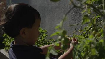 câmera lenta de menino colhendo tomates da planta