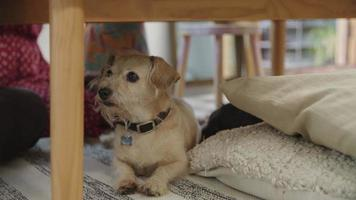 Slow motion of pet dog under table