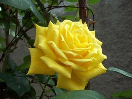 Yellow rose on bush