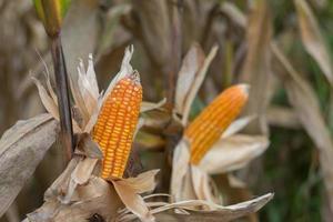 Closeup of dry corn cob  photo