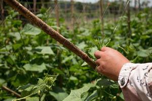 Planting cucumbers in a farm