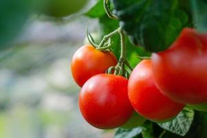 Bunch of red tomatoes on the vine