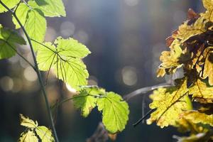 Leaves of wild raspberry are brightly lit by the sun.