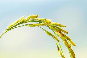 Rice in Field photo