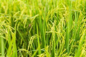 arroz trampa de araña foto