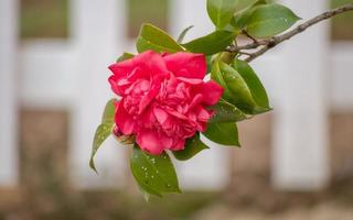 Spring flowers series, red camellia blooming photo