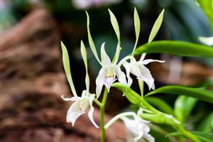 Close-up beautiful white orchid photo