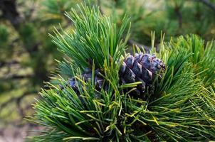 cedar pine cones on a branch. Photo toned