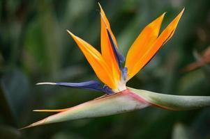 Bird of paradise (Strelitzia regina)