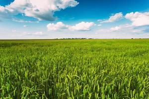 campo de espigas de trigo verde, fondo de cielo azul