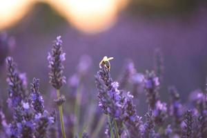 Bee tipping summer lavender