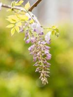 Beautiful wisteria against nature green background.