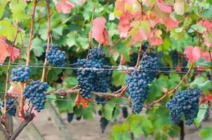 racimo de vino tinto uva bibor kadarka (kadarka púrpura) foto