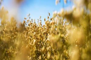 close-up do campo de aveia dourada