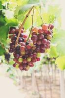 Red grape vine in the yard with retro filter effect