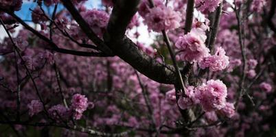 Cheery blossom branch