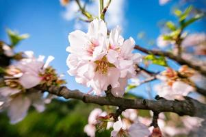Almond flower blossom tree with sky photo