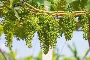 uvas verdes jóvenes foto