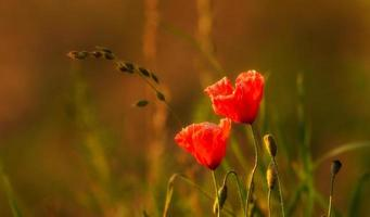 Poppies in flanders fields. photo