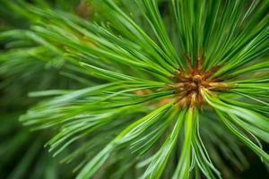 Macro green pine branch photo