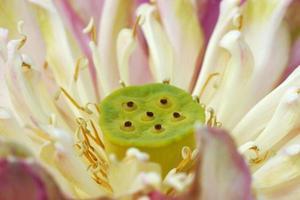 pink lotus flower in blooming photo