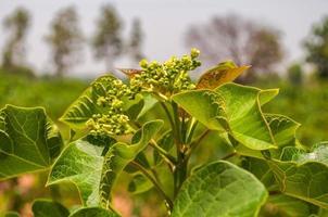 Flower Jatropha on tree
