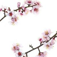 Branch with almond flowers blossoms isolated on white background