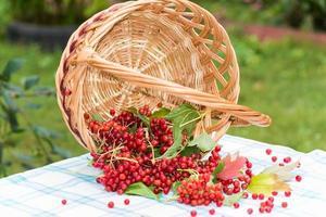 Red berries of a viburnum in basket
