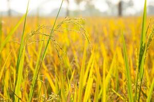 Rice in the fields.