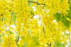 Golden shower or Cassia fistula flower photo