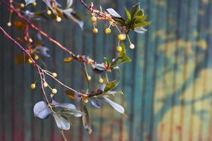Branch of cherry