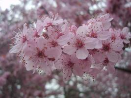 Pink cherry blossom .