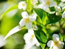 rama floreciente del manzano