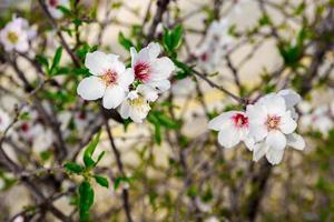 Whitre flowers on almond tree