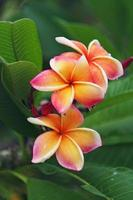 plumeria (frangipani) con gota de agua