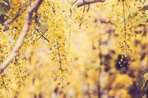 Golden shower or Cassia fistula flower vintage